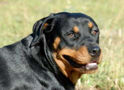 portrait of a beautiful purebred rottweiler in a field rottweiler, dog, animal, pet, purebred, danger, dangerous, giant, large, big, black, friend, guard, attack, bite, teeth, companion